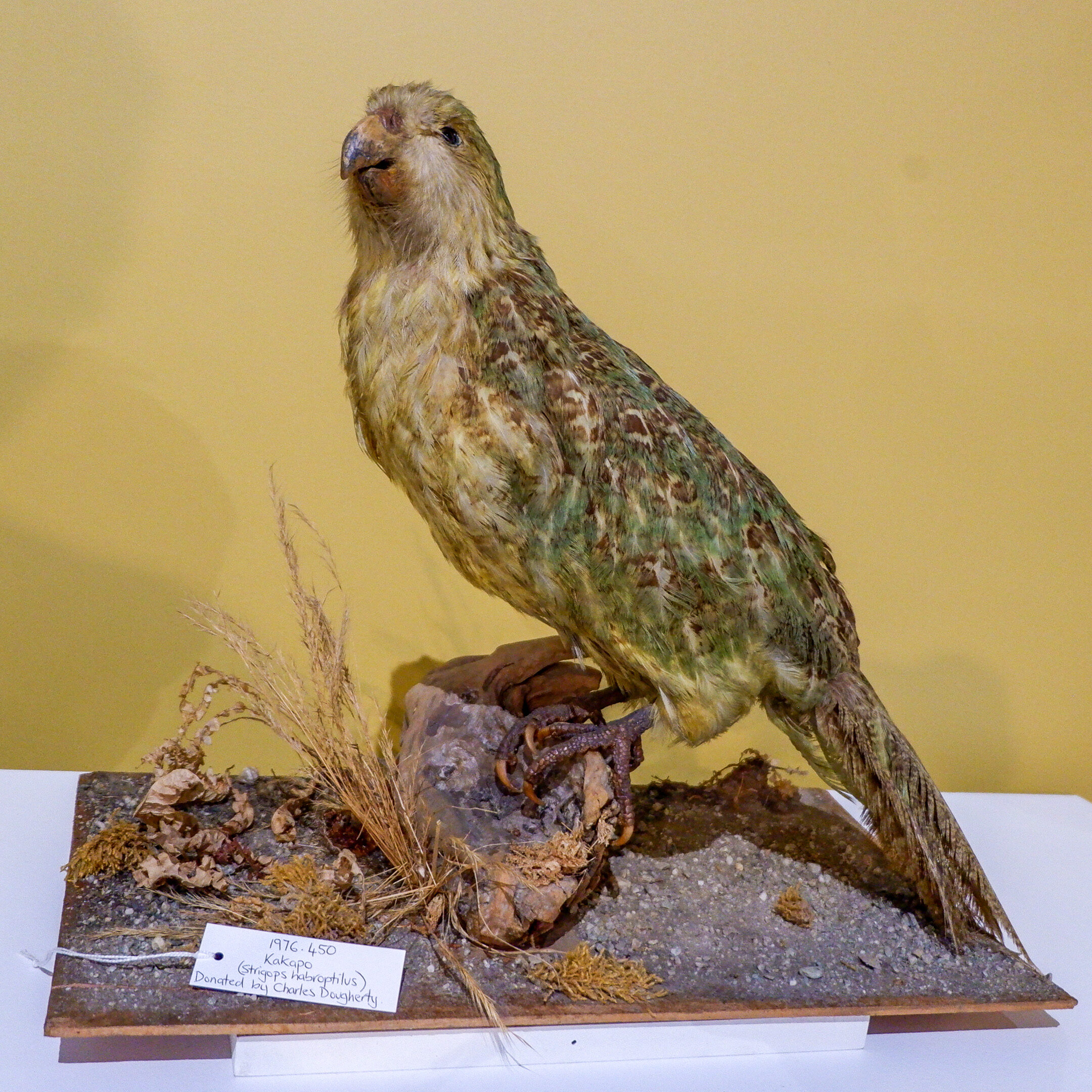 Kakapo from the Collection